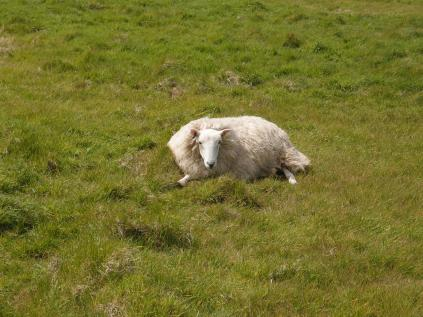 lazy sheep. it's interesting how first-time Singaporean visitors to the UK always marvel at the presence, or omnipresence, of sheep in the countryside