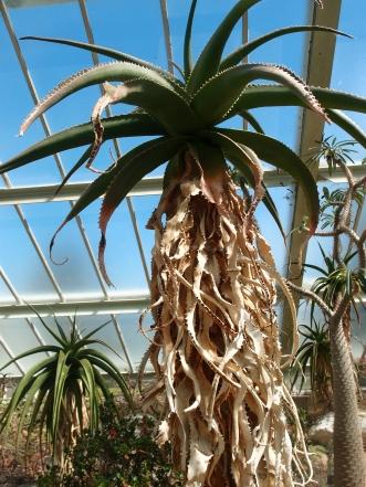 Aloe Vaombe, or Davy Jones